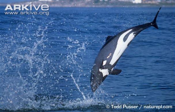 Heavisides Dolphin