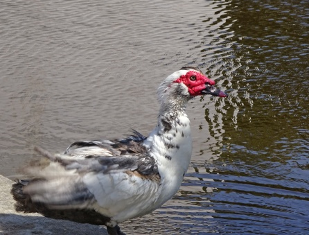 Exotic Fowl Belem