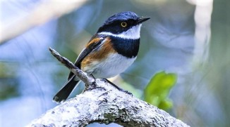Cape Batis - Peter Chadwick African Conservation Photographer
