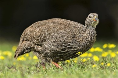 Cape Spurfowl - Peter Chadwick African Conservation Photographer