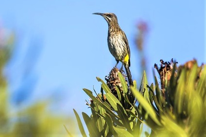 Cape Sugarbird - Peter Chadwick African Conservation Photographer
