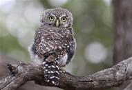Pearl Spotted Owlet - © Derek Keats