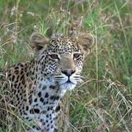 Cape Mountain Leopard