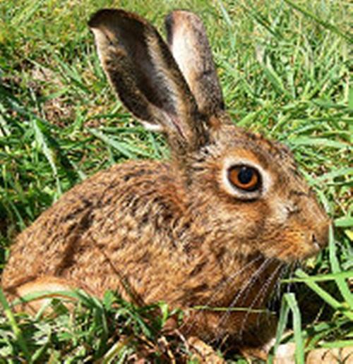 Cape Hare