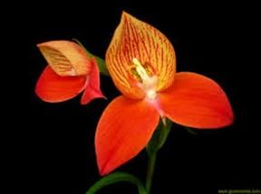 Disa Uniflora Bergius