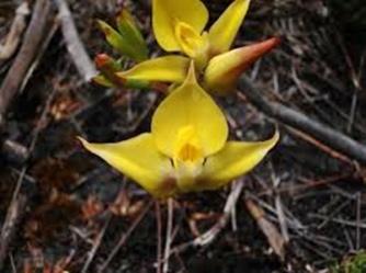 Yellow Disa