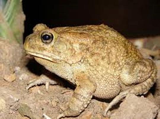 Fernkloof Frog5