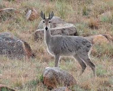 Grey Rhebok