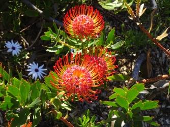 Pincushion Protea