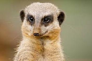 Pensive Mongoose