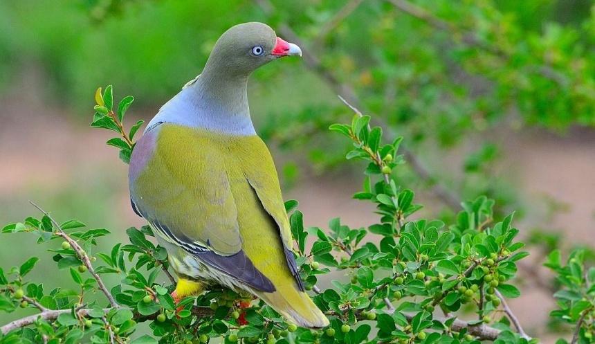 African Green Pigeon Paolo Giovanni Cortelazzo