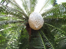 Australian Palm
