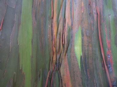 Bark New Guinea Kamerere
