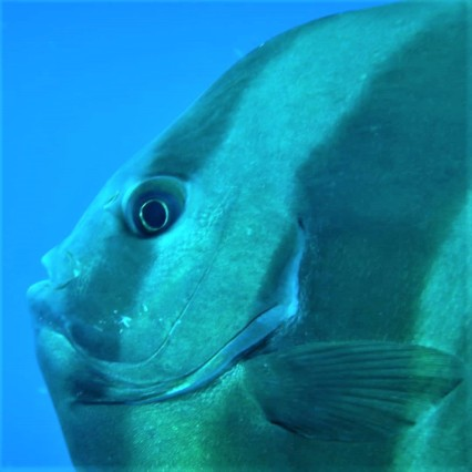 Batfish - deskgram