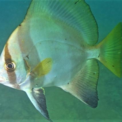 Batfish - Wikipedia