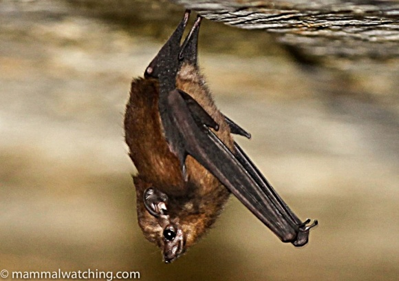 Sheath-Tail Bat