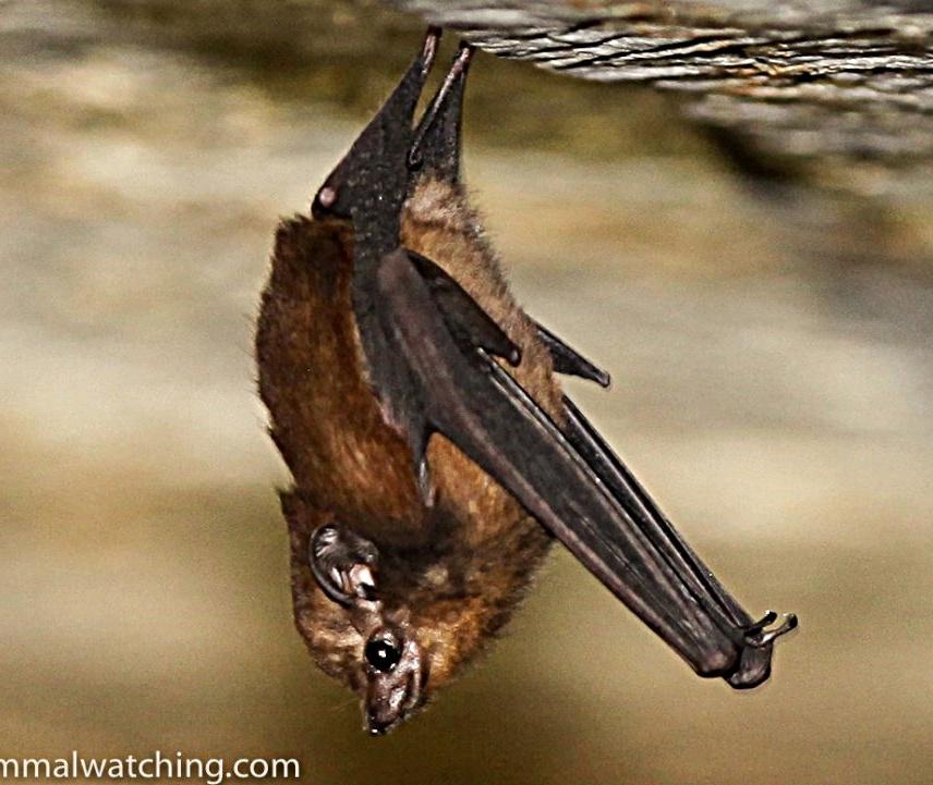 Sheath-Tail Bat