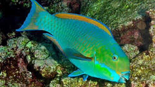 Steelhead Parrotsfish