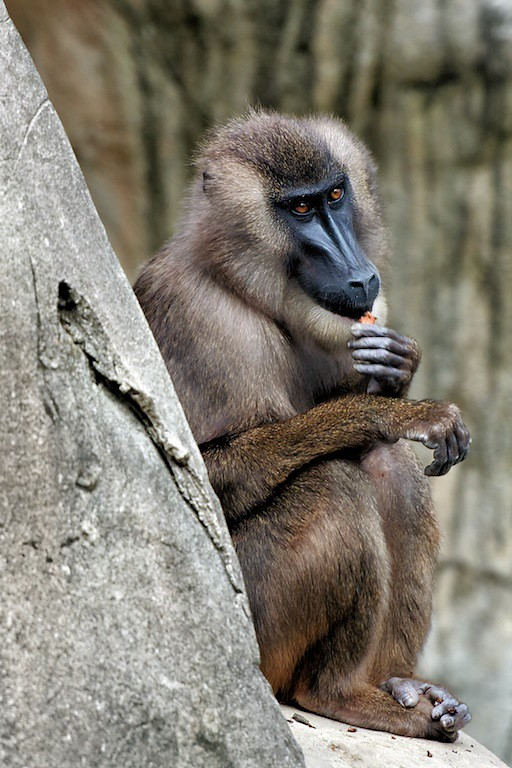 Cape Baboon - Flickr