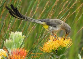 Cape Sugarbird - TrekNature