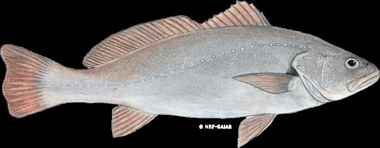 Kabeljou South Africa Salmon - zinifishfarms.co.za