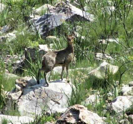 Klipspringer - Cape Hike