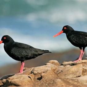 African Black Oystercatchers - SA-Venues.com