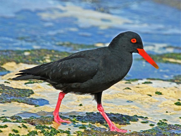 African Black Oystercatcher - Wikimedia Commons