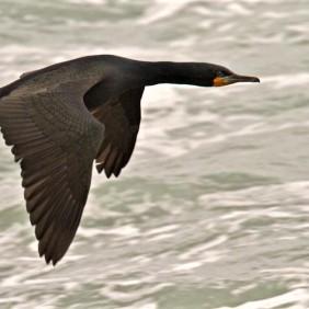 Cape Cormorant - HBW Alive