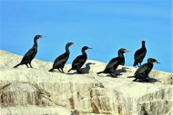 Cape Cormorants - Raggy Charters