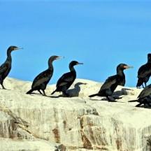 Cape Cormorants - Raggy Charters