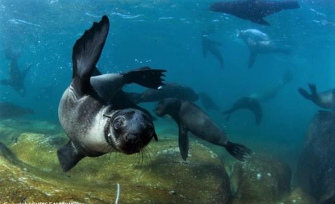 Cape Fur Seals - Apex Shark Expeditions