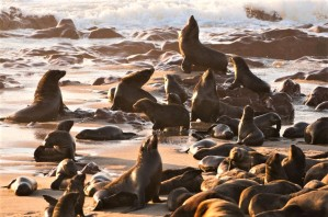Cape Fur Seal Colony - Focusing on Wildlife
