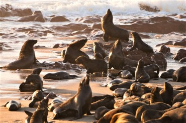 Cape Fur Seal Colony - Focusing on Wildlife