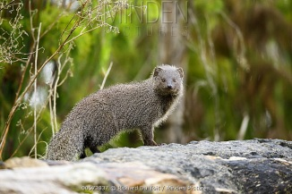 Gray Mongoose - Minden Pictures