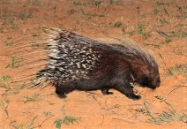 African Porcupine - sa-venues.com