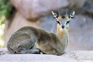 Klipspringer - Thuru Lodge