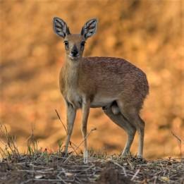 Sharpe's Grysbok - Wild About The Wild