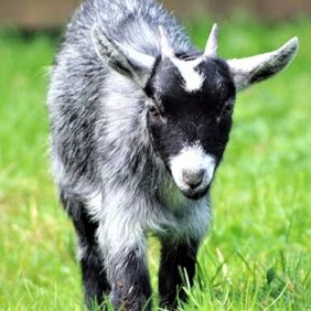 Baby Goat - Hobby Farms