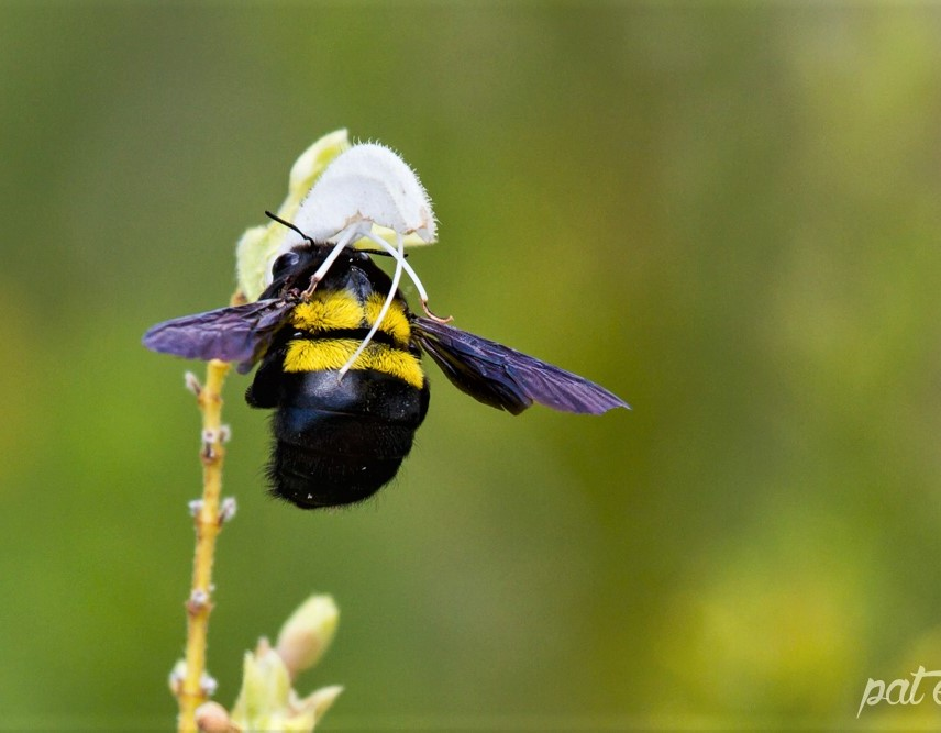 Carpenter Bee - wildlifeden.com