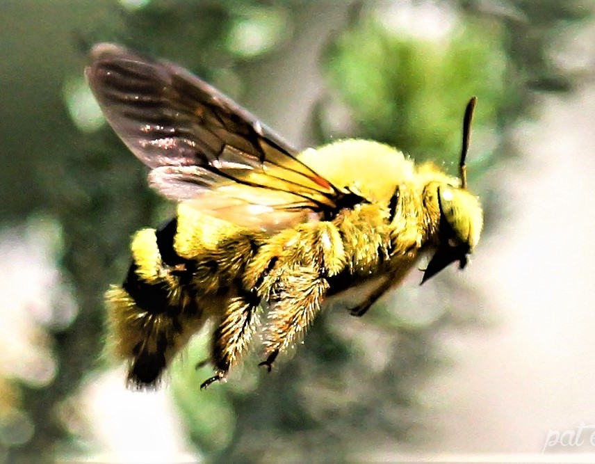 Male Carpenter Bee - wildlifeden.com
