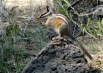 Central Oregon Chipmunk - Bend Bulletin