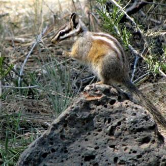 Central Oregon Chipmunk - Bend Bulletin