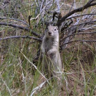 Oregon Ground Squirrel - The Nature Niche