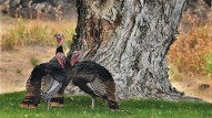 Oregon Wild Turkeys - KVAL
