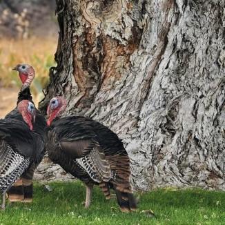 Oregon Wild Turkeys - KVAL
