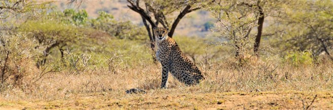 Cheetah Hluhluwe Imfolozi Game Reserve - Audley Travel