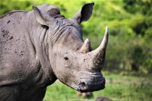 White Rhino Hluhluwe Imfolozi Park - Sol Salute