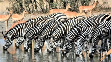 Zebra Hluhluwe Imfolozi Park - Property360