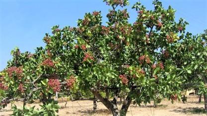 Aegina Pistachio Tree - aegina.com.gr